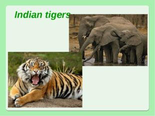 Indian tigers African elephants