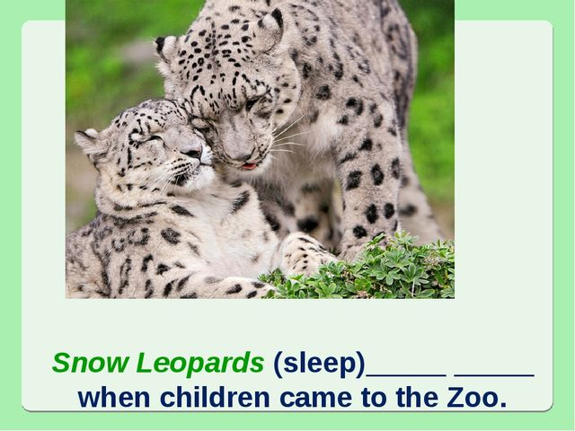 Snow Leopards (sleep)_____ _____ when children came to the Zoo.