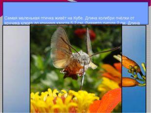Самая маленькая птичка живёт на Кубе. Длина колибри пчёлки от кончика клюва