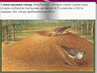 """Самые крупные гнезда. Инкубаторы"""", которые строят сорные куры (Leipoa ocellat"""