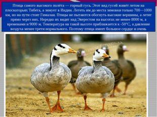 Птица самого высокого полёта — горный гусь. Этот вид гусей живёт летом на пло
