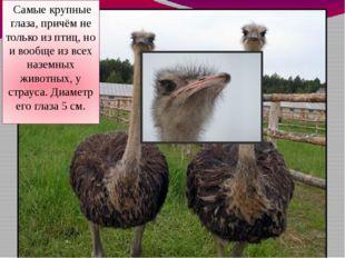 Самые крупные глаза, причём не только из птиц, но и вообще из всех наземных
