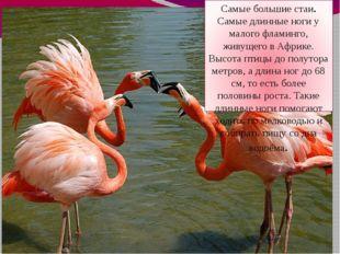 Самые большие стаи. Самые длинные ноги у малого фламинго, живущего в Африке.