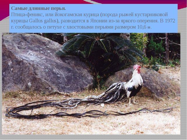 Самые длинные перья. Птица-феникс, или йокогамская курица (порода рыжей куста...