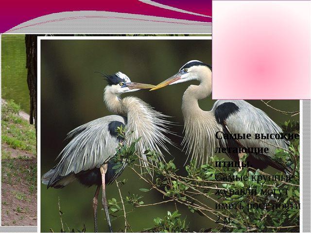 Самые высокие летающие птицы. Самые крупные журавли могут иметь рост почти 2...