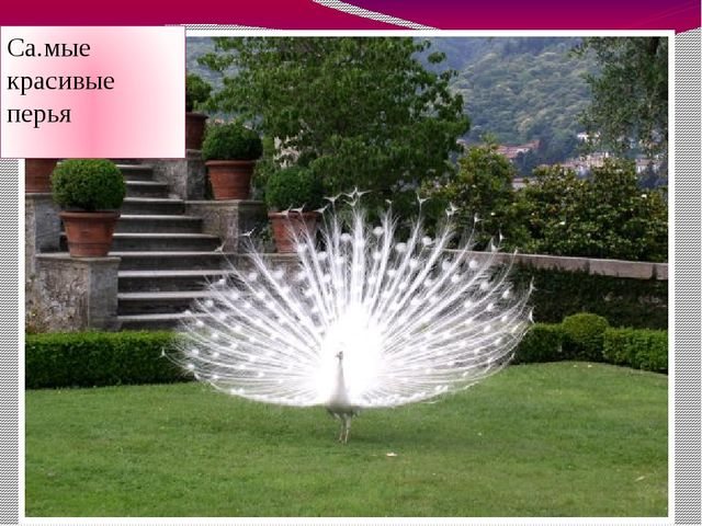 Са.мые красивые перья