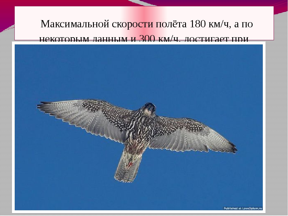 Максимальной скорости полёта 180 км/ч, а по некоторым данным и 300 км/ч, дос...