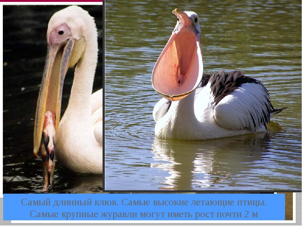Самый длинный клюв. Самые высокие летающие птицы. Самые крупные журавли могут...