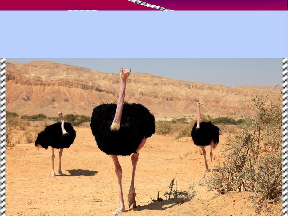 Самая крупная птица. Самая крупная и сильная из ныне живущих нелетающих птиц...
