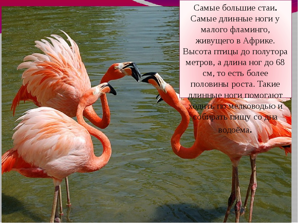 Самые большие стаи. Самые длинные ноги у малого фламинго, живущего в Африке....