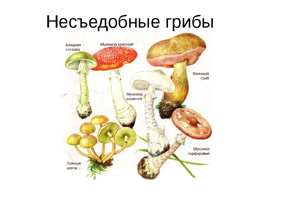 Несъедобные грибы