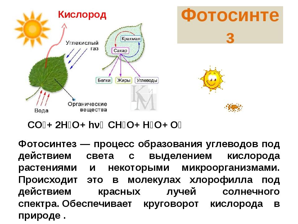 Фотосинтез Фотосинтез — процесс образования углеводов под действием света с в...