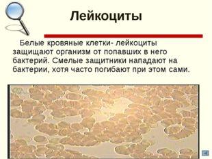 Лейкоциты Белые кровяные клетки- лейкоциты защищают организм от попавших в не