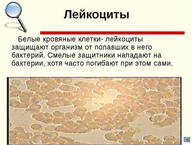 Лейкоциты Белые кровяные клетки- лейкоциты защищают организм от попавших в не...