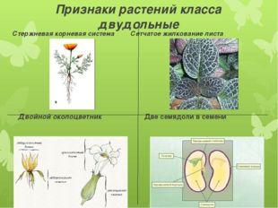 Признаки растений класса двудольные Стержневая корневая система Сетчатое жилк