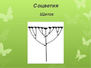 Соцветия Щиток