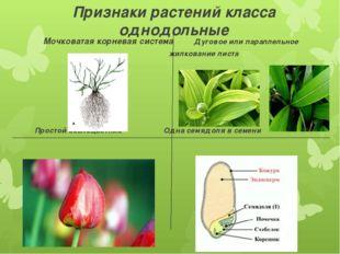 Признаки растений класса однодольные Мочковатая корневая система Дуговое или