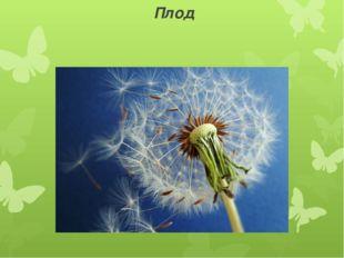 Плод Семянка