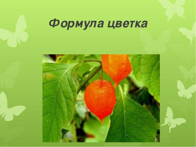 Формула цветка Ч(5)Л(5)Т(5)П1
