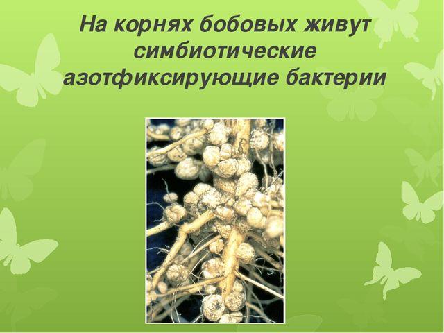 На корнях бобовых живут симбиотические азотфиксирующие бактерии