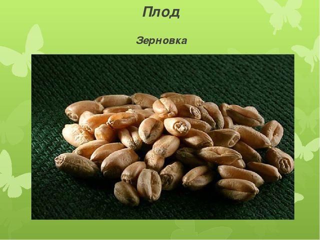 Плод Зерновка