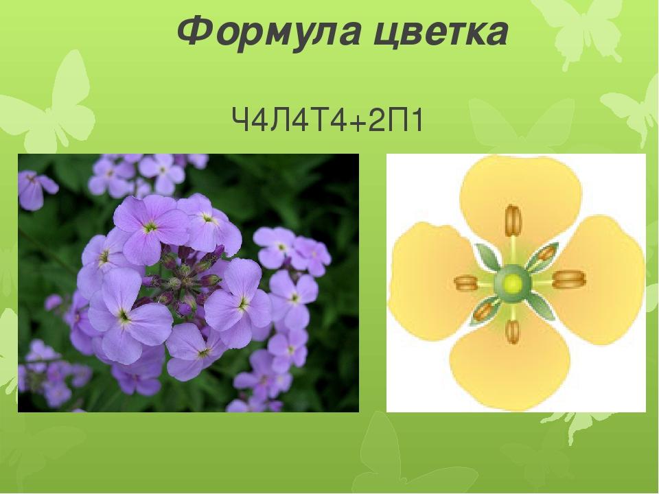 Формула цветка Ч4Л4Т4+2П1