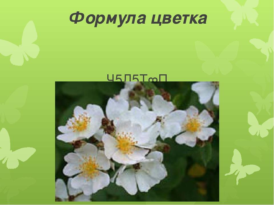 Формула цветка Ч5Л5Т∞П Ч5Л5Т∞П∞ -шиповник