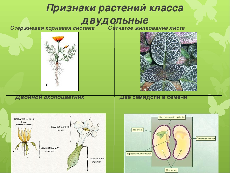 Признаки растений класса двудольные Стержневая корневая система Сетчатое жилк...
