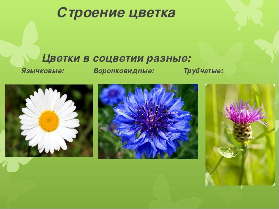 Строение цветка Цветки в соцветии разные: Язычковые: Воронковидные: Трубчатые: