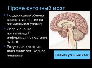 Промежуточный мозг Поддержание обмена веществ и энергии на оптимальном уровне