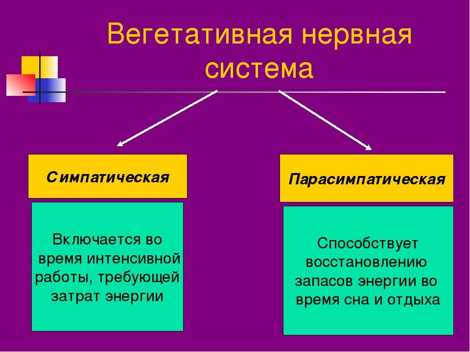 Вегетативная нервная система Симпатическая Парасимпатическая Включается во вр...