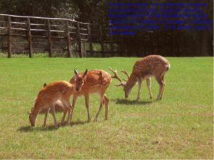 Пятнистые олени. Это не минский зоопарк и не Беловежская пуща. В царские врем