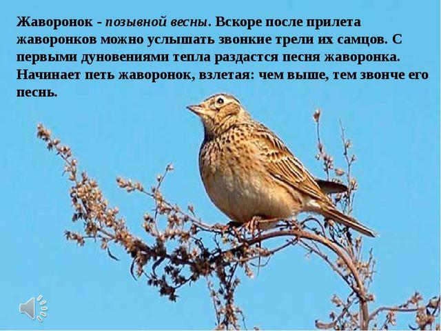 Жаворонок - позывной весны. Вскоре после прилета жаворонков можно услышать зв...