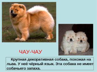 ЧАУ-ЧАУ Крупная декоративная собака, похожая на льва. У неё чёрный язык. Эта