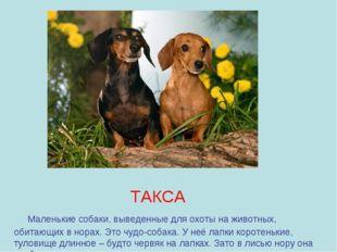 ТАКСА Маленькие собаки, выведенные для охоты на животных, обитающих в норах.