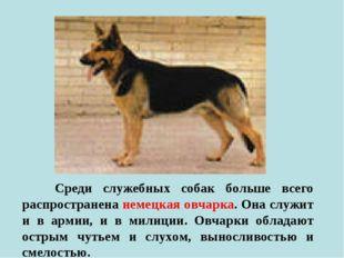 Среди служебных собак больше всего распространена немецкая овчарка. Она служ