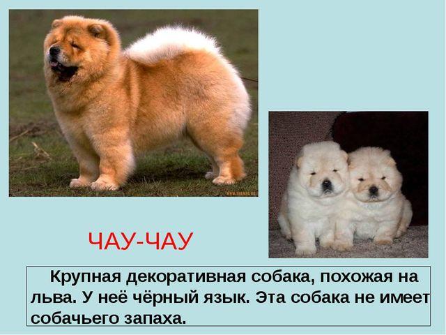 ЧАУ-ЧАУ Крупная декоративная собака, похожая на льва. У неё чёрный язык. Эта...