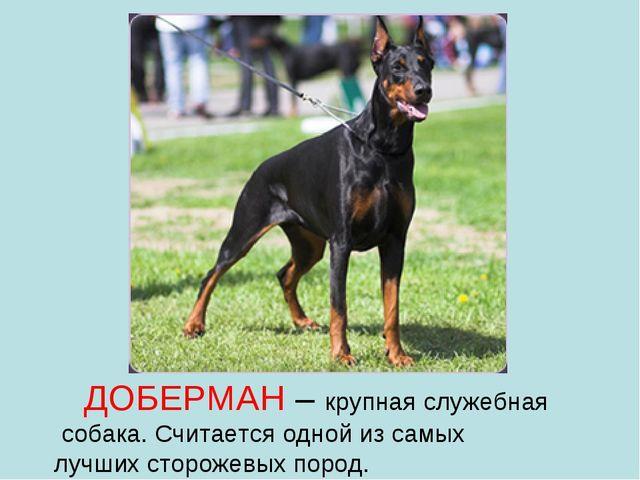 ДОБЕРМАН – крупная служебная собака. Считается одной из самых лучших стороже...