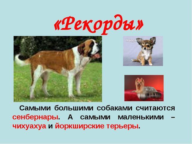 Самыми большими собаками считаются сенбернары. А самыми маленькими – чихуаху...
