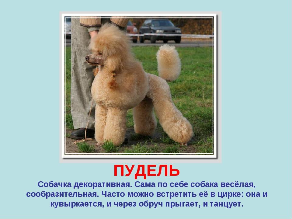 ПУДЕЛЬ Собачка декоративная. Сама по себе собака весёлая, сообразительная. Ча...