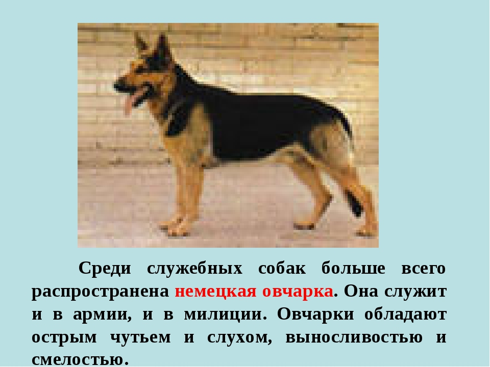 Среди служебных собак больше всего распространена немецкая овчарка. Она служ...