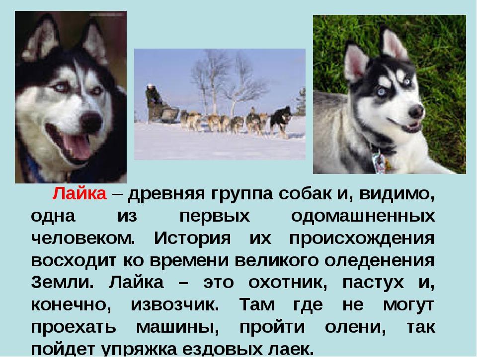 Лайка – древняя группа собак и, видимо, одна из первых одомашненных человеко...