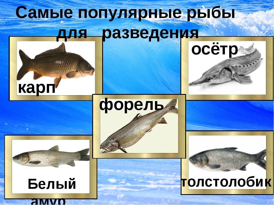 карп осётр толстолобик Белый амур Самые популярные рыбы для разведения форель