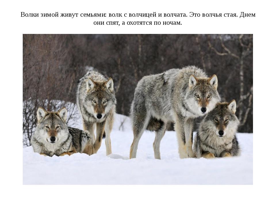 Волки зимой живут семьями: волк с волчицей и волчата. Это волчья стая. Днем о...