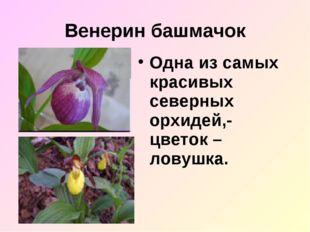 Венерин башмачок Одна из самых красивых северных орхидей,- цветок – ловушка.