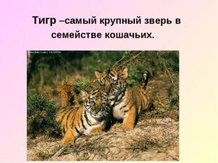 Тигр –самый крупный зверь в семействе кошачьих.