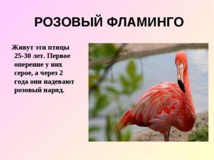 РОЗОВЫЙ ФЛАМИНГО Живут эти птицы 25-30 лет. Первое оперение у них серое, а че