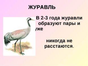 ЖУРАВЛЬ В 2-3 года журавли образуют пары и уже никогда не расстаются.