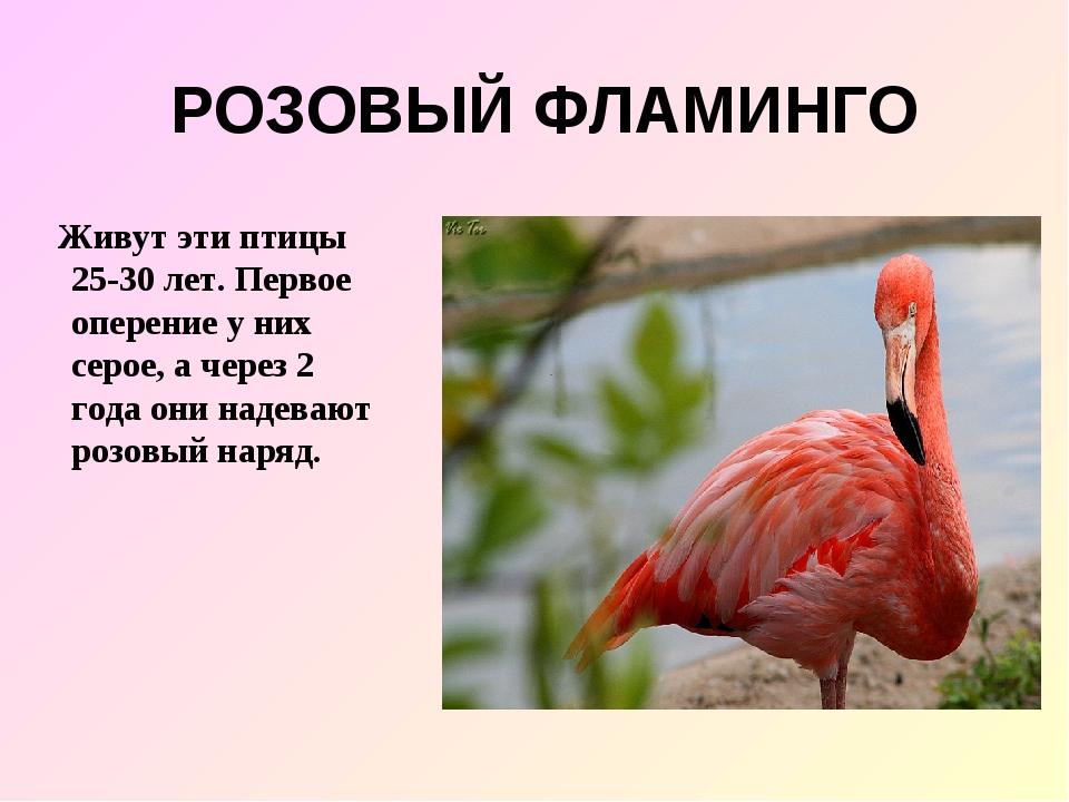 РОЗОВЫЙ ФЛАМИНГО Живут эти птицы 25-30 лет. Первое оперение у них серое, а че...