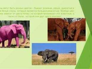 Слоны могут быть разных цветов – бывают розовые, серые, дымчатые и даже белые